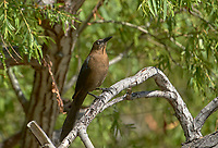 Great-tailed Grackle (Quiscalus mexicanus) (Zanate mexicano) perched in a tree Jocotopec, Jalisco, Mexico