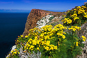 Giant Coreopsis at Cavern Point, Santa Cruz Island, Channel Islands National Park, California USA