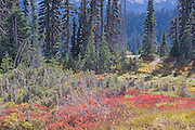 autumn colors in foilage on Mt. Rainier, WA