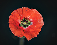 First Red Poppy flower this year. Backyard spring nature in New Jersey. Composite of 74 focus stacked images taken with a Nikon Df computer and 105 mm f/2.8 VR macro lens (ISO 100, 105 mm, f/4, 1/200 sec) and SB-910 flash (TTL, EV 0). Kirk linear track 1 mm intervals over 7.4 cm. Composite created using Helicon Focus (Method C)