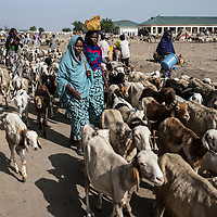 Everyday IDPs who own livestock leaves the camp to feed it and make it drink.