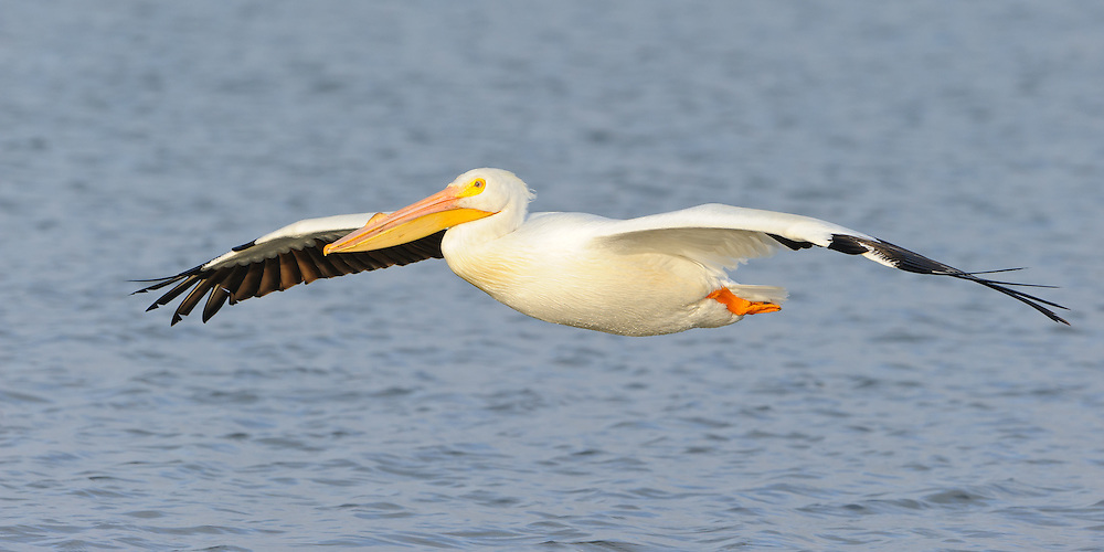 A pelican skims the waters of White Rock Lake, Dallas, Texas