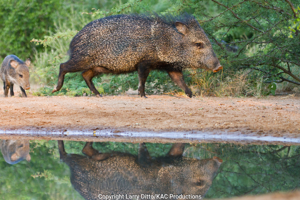 Collared Peccary (Pecari tajacu) javellina at pond in south Texas brush habitat