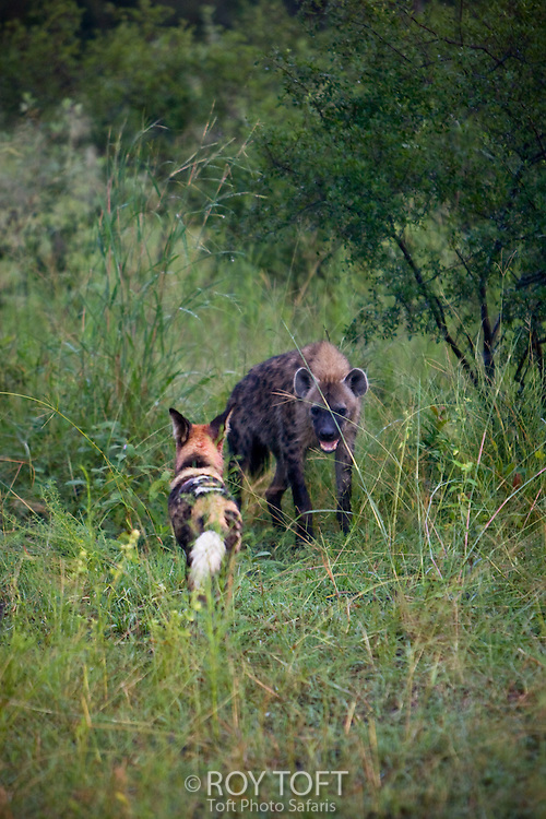 African Wild Hunting Dog (Lycaon pictus) and Spotted Hyena (Crocuta crocuta) conflict, Botswana, Africa