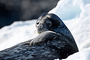 A Weddel seal (Leptonychotes weddellii) looks over towards the camera on Thursday 15 February 2018 near Esperanza Base.