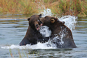 Brown Bears congregate at the Brooks River in Katmai National Park to feed on the abundance of Salmon.  In early September the spawned out salmon are easy pickings so some of the bears took time out to play.