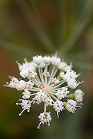 Dropwort - Water dropwort  Oenanthe crocata, Southwest Alentejo and Vicentine Coast Natural Park, Portugal