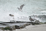 Brandt feeding on the jetty at Indian River Inlet as the waves crashed over the flock