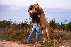 Valentin Gruener with a lioness he hand raised from a small dying cub to a healthy adult hugging in the morning when they see each other,,Grasslands Private Reserve, Kalahari Desert, Botswana, Africa