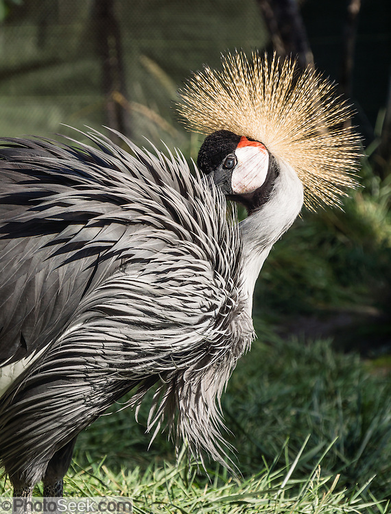 East African Crowned Crane (or Crested Crane, Balearica regulorum gibbericeps), Indianapolis Zoo, Indianapolis, Indiana, USA. This bird species is about 1 meter tall, weighs 3.5 kg, and has a wingspan of 2 m. Body plumage is mainly grey, with predominantly white wings. The head has a showy crown of stiff golden feathers, white sides of the face, and bright red inflatable throat pouch. Their long legs help wade through grasses.