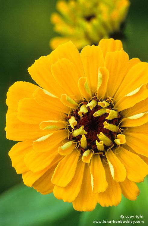 Zinnia Cactus Yellow