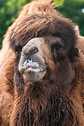 The Bactrian camel (Camelus bactrianus) is a large, even-toed ungulate native to the steppes of Central Asia.  This one lives at the San Diego Zoo in California.