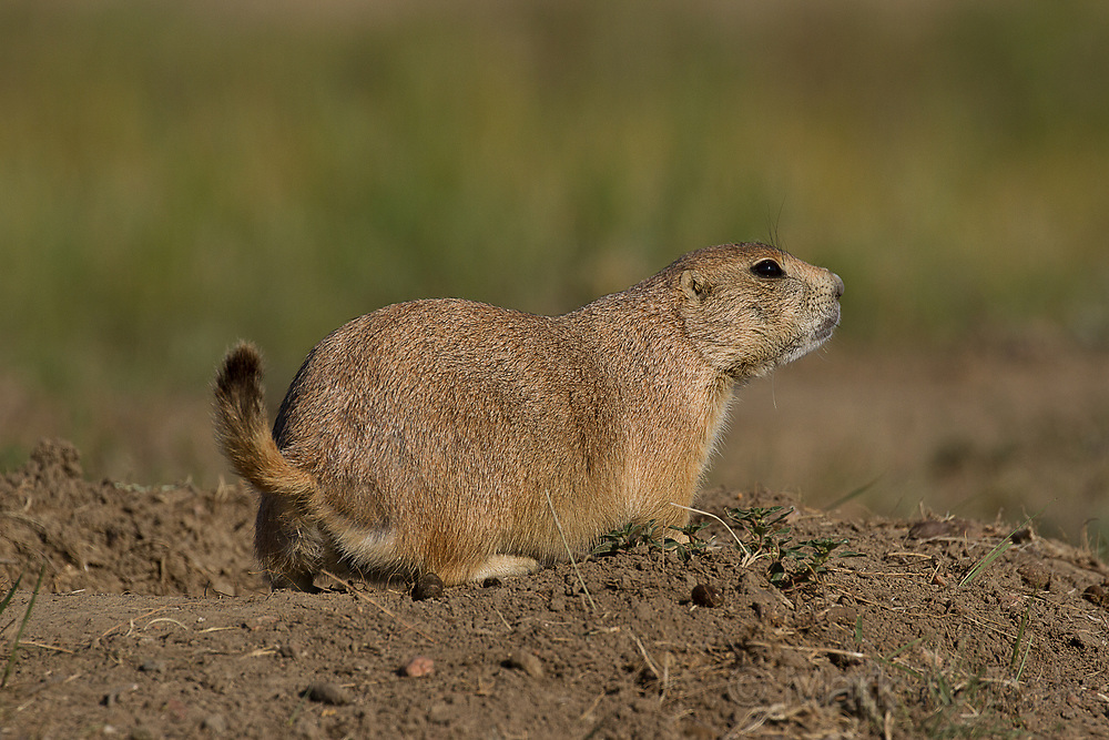Black-tailed Prairie Dog, Southern Saskatchewan