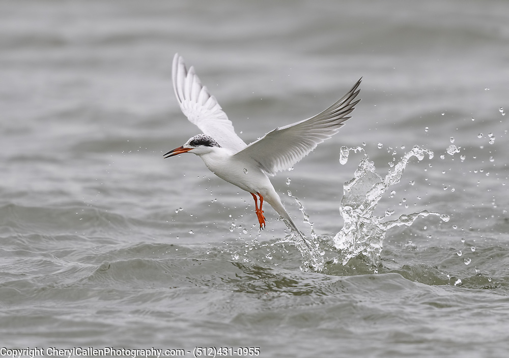 Common Tern diving for Krill