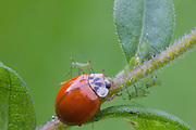 Multicolored Asian Lady Beetle; Harmonia axyridis; with prey - Uroleucon caligatum aphids - on goldenrod; PA, Philadelphia, Schuylkill CenterPA, Philadelphia, Schuylkill Center