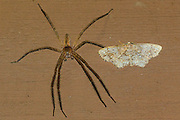 fishing spider side by side with a moth