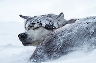 Sled dog sleeping in a snowstorm.