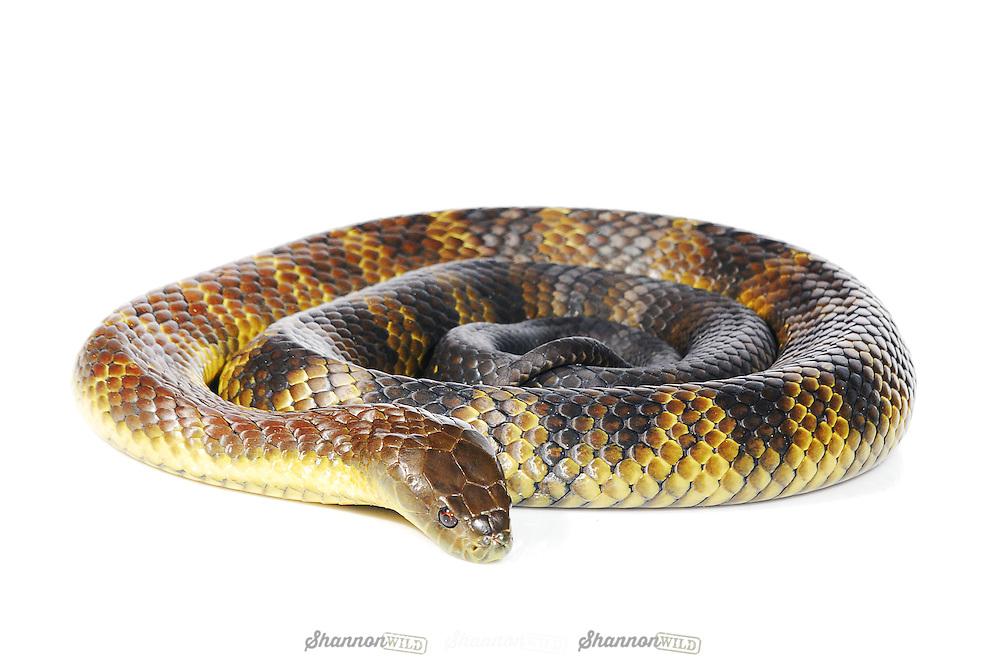 Mainland Tiger Snake (Notechis scutatus).  Glen Ines locality. Male