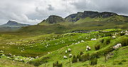 Sheep under Bioda Buidhe mountain and Trotternish Ridge, along the minor paved road between Staffin and Uig, on the Isle of Skye, Scotland, United Kingdom, Europe. This image was stitched from several overlapping photos.