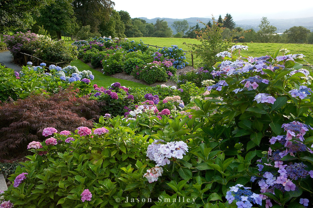 Hydrangeas in the National Collection at Holehird Garden Windermere