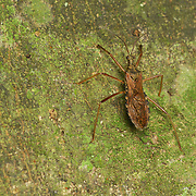 """Valentia compressipes - Reduviidae (from the contained genus, Reduvius, which comes from the Latin reduvia, meaning """"hangnail"""" or """"remnant"""") is a family of predatory insects in the suborder Heteroptera."""