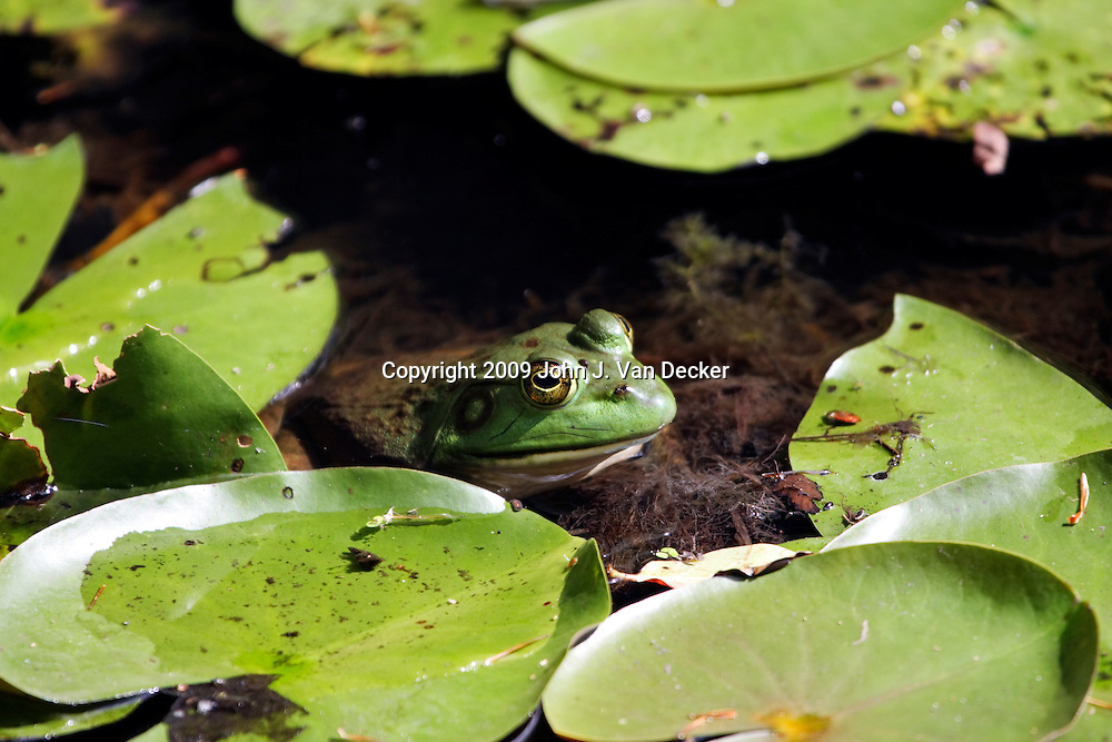 Bullfrog sitting in a shallow pond with water lillies