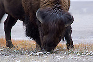 American Bison Buffalo at Firehole Lake, Yellowstone National Park, Wyoming