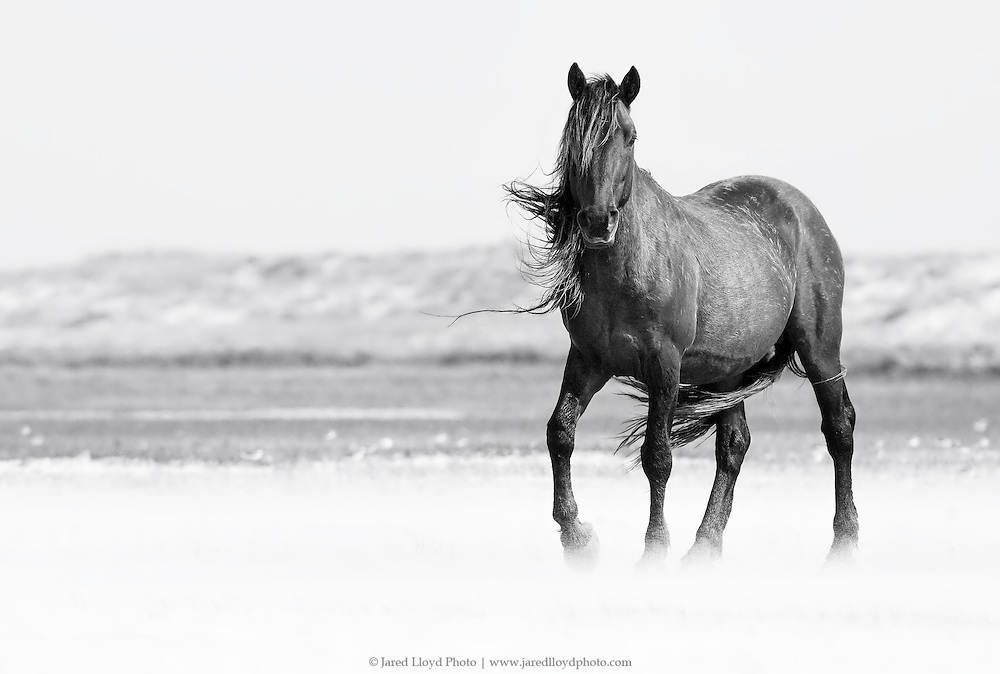 a stallion postures in high winds and blowing sand along the coast of North Carolina