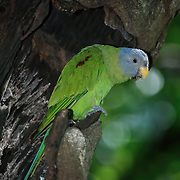 Female blossom-headed parakeet (Psittacula roseata). A parrot which is a resident breeder in Eastern Bangladesh, Bhutan, Northeast India and Nepal, eastwards into South-east Asia (Cambodia, Laos, Myanmar, Thailand and Viet Nam) and also China. It undergoes local movements, driven mainly by the availability of the fruit and blossoms which make up its diet.