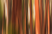 Forest abstract, Yosemite Valley, Yosemite National Park, California USA
