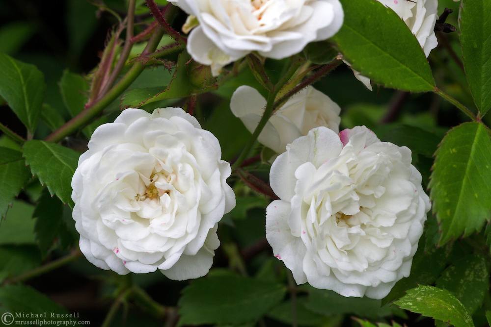 Flowers of the white shrub rose Alba Meidiland