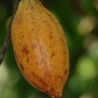 Fruta del Cacao en la selva de Birongo, Edo. Miranda. Venezuela