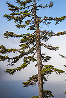 A conifer tree in the fog at Snow Lake above Snoqualmie Pass in the central Cascades of Washington state, USA.