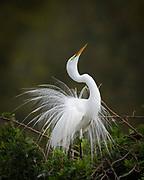Great Egret, Ardea alba, Venice Rookery, Venice, Florida