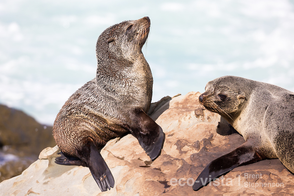 Two New Zealand fur seal pups (Arctocephalus forsteri) sunbathing on top of a rock beside the sea. Ohau Point, Canterbury, New Zealand. September.