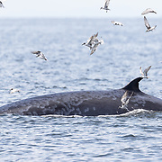 Eden's whale (Balaenoptera edeni edeni) known as Som Tam exhibiting the skin disease that afflicts this population of whales in the Gulf of Thailand