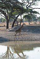 A Massai Giraffe (Giraffa camelopardalis) in Tarangire National Park, Tanzania, Africa