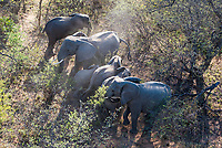 Aerial view of an African Elephant herd, Marataba Private Game Reserve, Limpopo, South Africa