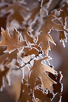 Frost clings to red oak leaves in December during a Minnesota winter.