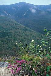Mt. Lafayette.  White Mountains N.F. Rhodora, rhododendron canadense.  Spring.  Old Bridle Path, NH