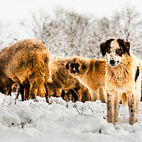 Two shepherd dogs in the snow guarding the flock