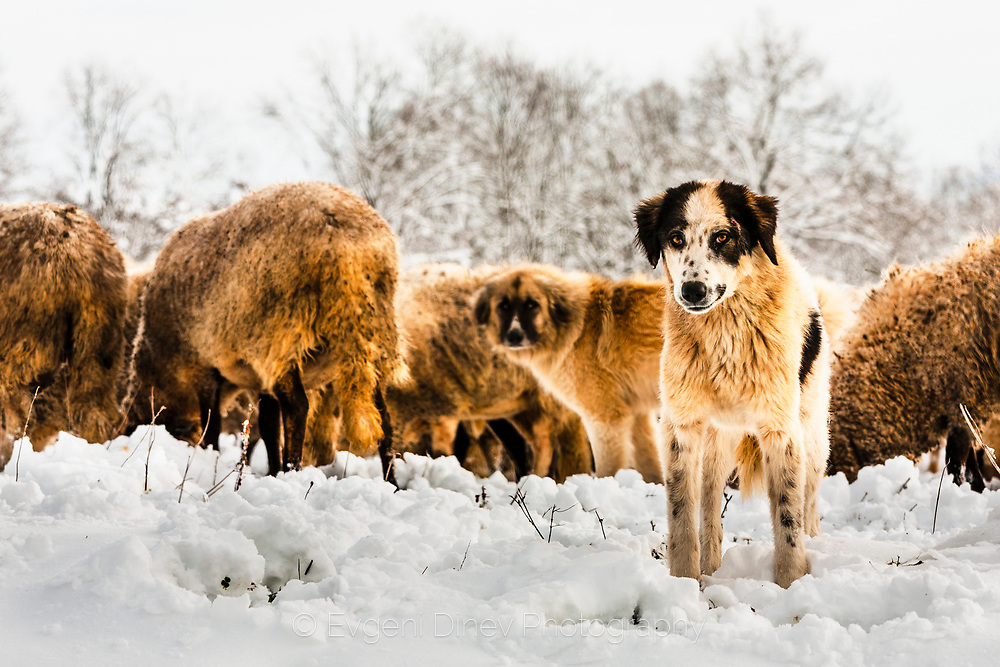 Angry shepherd dog keeping the lambs