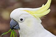 Sulphur-crested Cockatoo, Australia