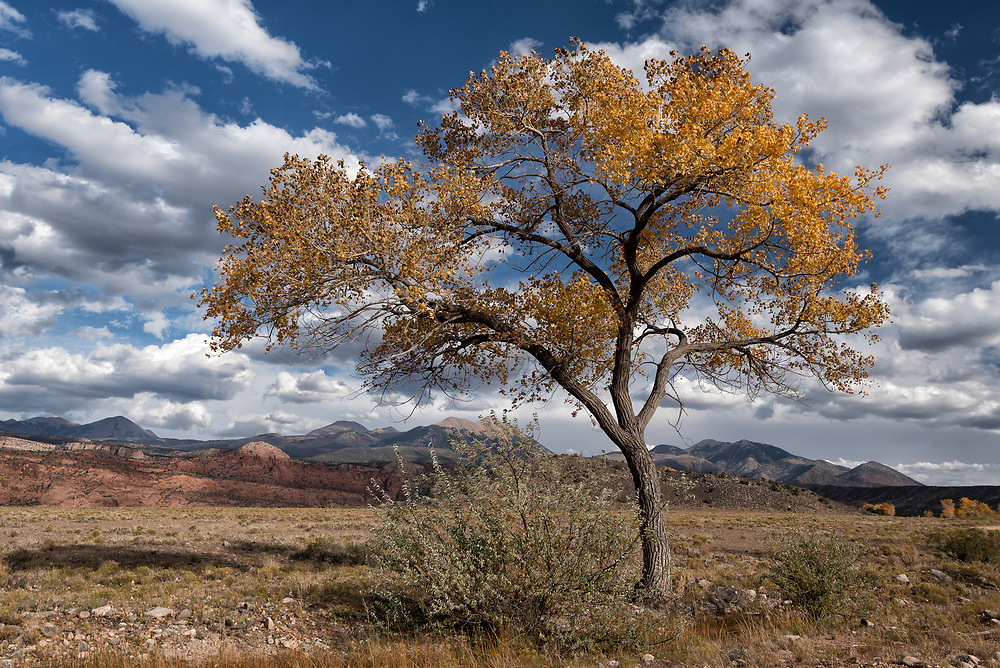 A cottonwood tree in autumn colors near Moab, Utah.
