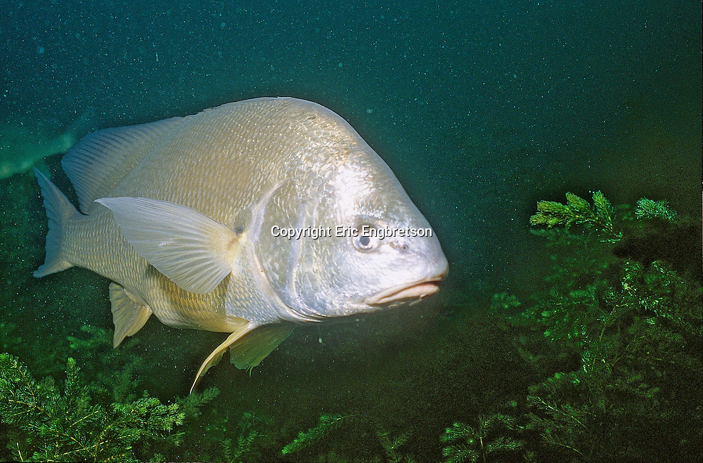 Freshwater Drum, Lake Michigan<br /> <br /> ENGBRETSON UNDERWATER PHOTO