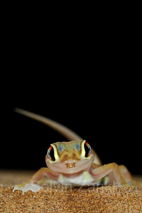 Wuestengecko (Palmatogecko rangei) auf Sand Duene in der Namib Wueste bei Luederitz | Web-footed gecko Gecko (Palmatogecko rangei) on sand dune in the Namib Desert by Luederitz Namibia; shot digital: 14,03inch x 9,317inch at 300 Pixel\inch