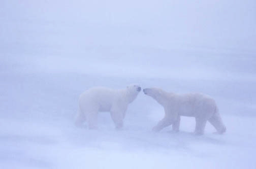 Polar Bear, (Ursus maritimus) Playing in snowstorm. Churchill, Manitoba. Canada.