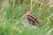Snipe Gallinago gallinago L 25-28cm. Distinctive, even in silhouette: has dumpy body, rather short legs and very long, straight bill. Feeds by probing bill in a sewing machine-like manner. Sexes and ages are similar. Adult and juvenile have mainly buffish brown upperparts, beautifully patterned with black and white lines and bars. Note distinctive stripes on head, streaked and barred breast and flanks, and white underparts. Voice Utters one or two sneeze-like kreech calls when flushed. Performs 'drumming' display in breeding season: sound caused by vibrating tail feathers. Status Locally common and invariably associated with boggy ground. In breeding season, favours marshes, meadows and moorland bogs. Winter numbers boosted by migrants and then found on wide range of wetland habitats. Sadly, tens of thousands of birds are shot each year.