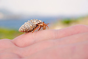 Small Hermit crab crawling on a visitor's hand, Virgin Islands State Park, Caribbean.