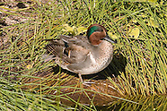 Green-winged Teal photos